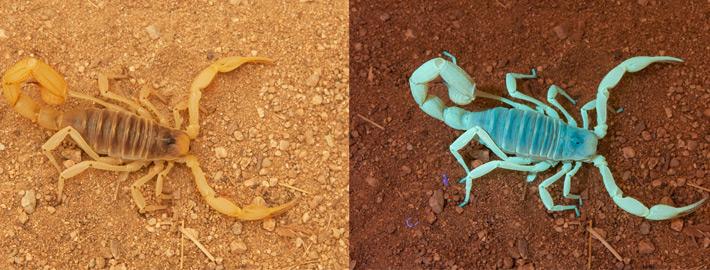 uv light on scorpion